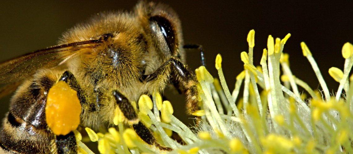 Die schönsten Bienenpflanzen für den Garten