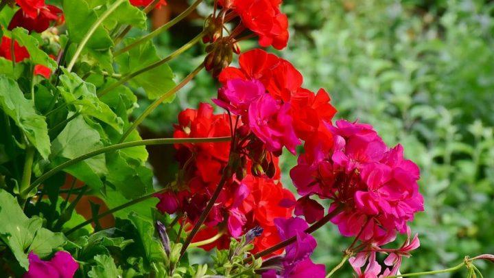 Was sind schöne Sommerblüher und wie pflegen Sie sie?
